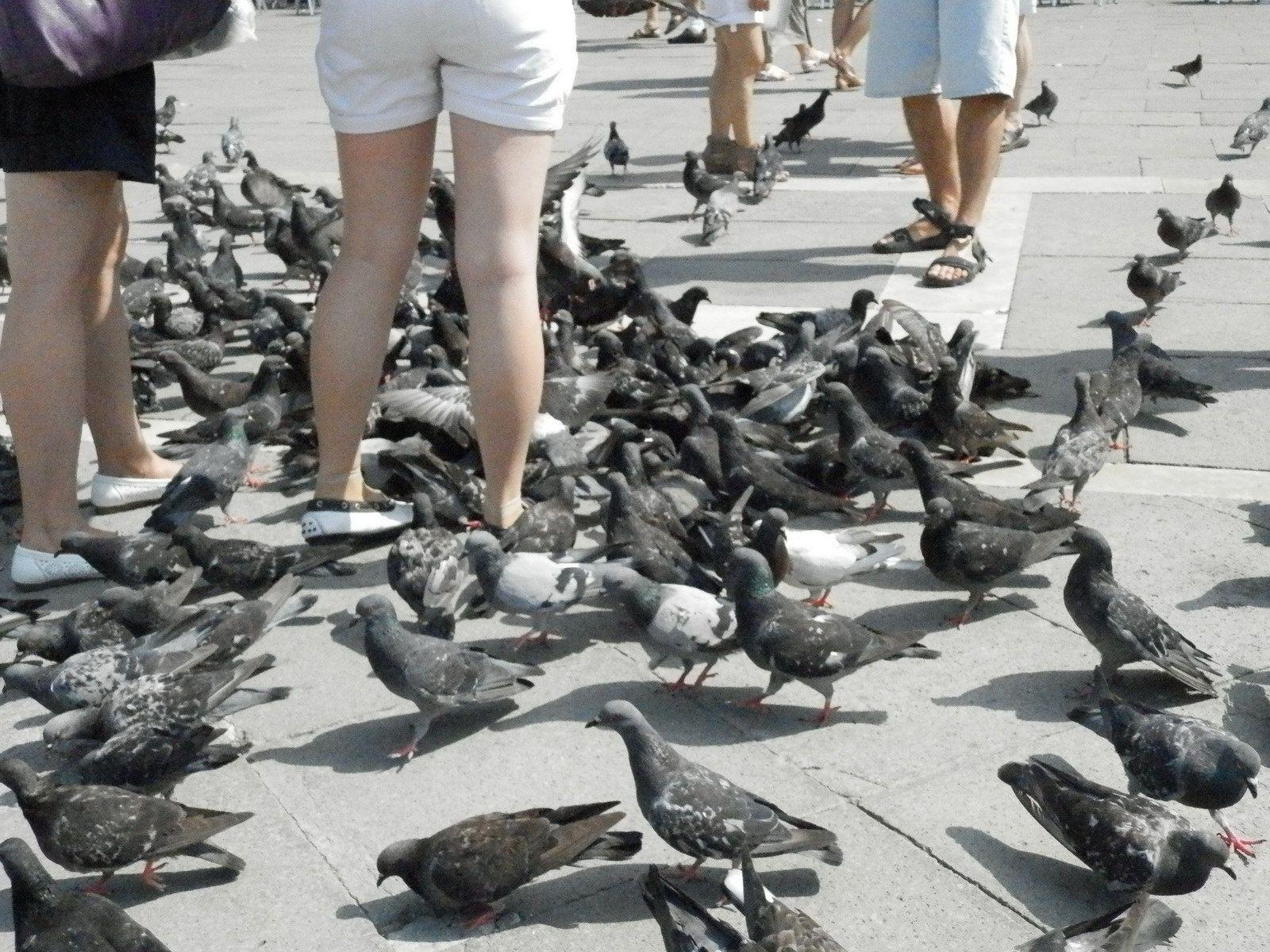 Pigeons de la Place Saint-Marc