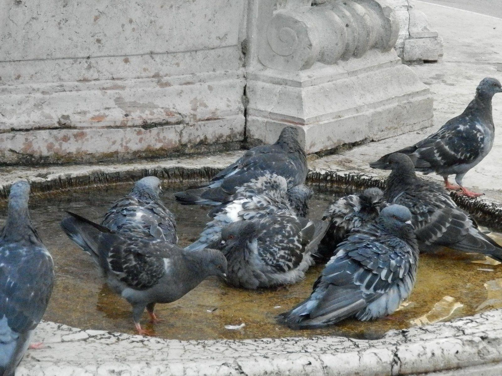 Encore des pigeons de la Place Saint-Marc